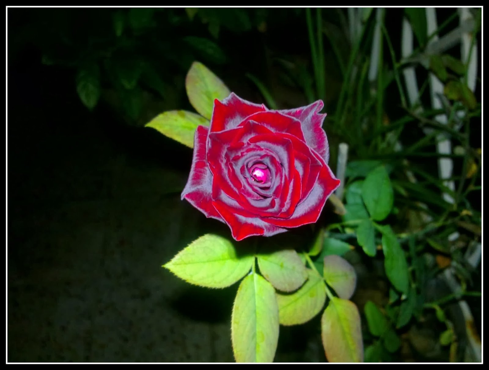 The Velvette Rose by Mousumi De on Visioplanet Photography