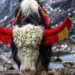 Yak by Sudipto Sarkar on Visioplanet Photography