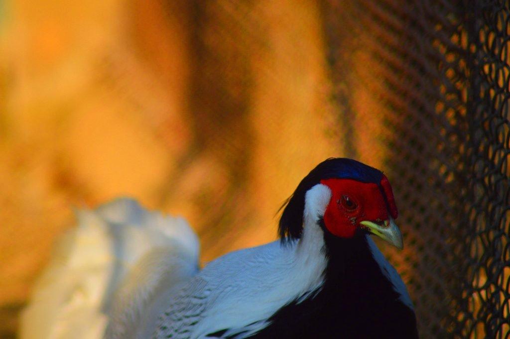 Silver Pheasant by Sudipto Sarkar on Visioplanet