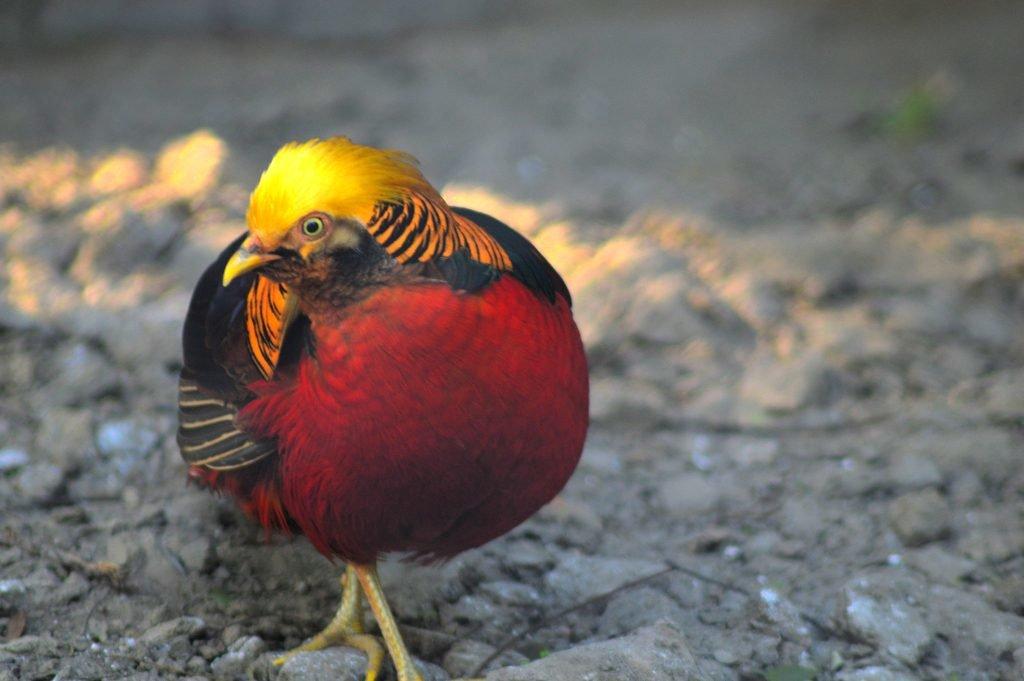 Golden Pheasant by Sudipto Sarkar on Visioplanet
