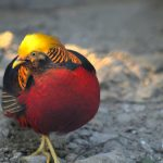 The Golden Pheasant by Sudipto Sarkar on Visioplanet Photography