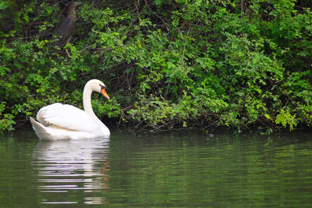 White Swan by Sudipto Sarkar on Visioplanet