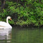 The White Swan by Sudipto Sarkar on Visioplanet Photography