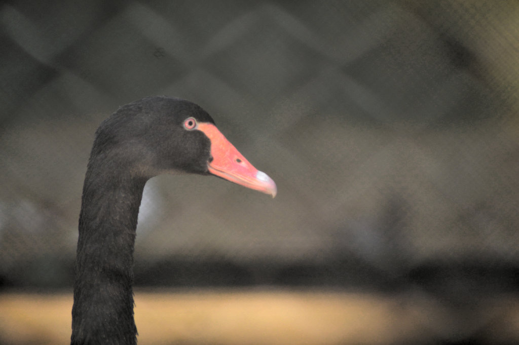Black Swan by Sudipto Sarkar on Visioplanet