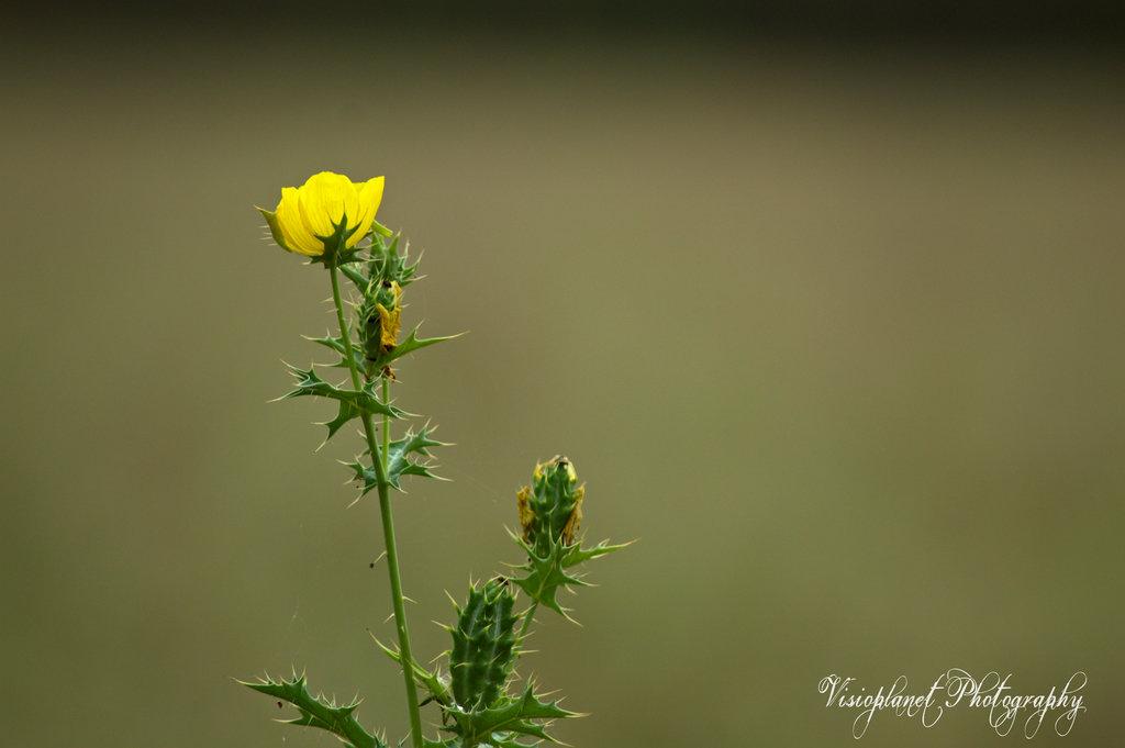 Cactus Flower by Sudipto Sarkar on Visioplanet Photography