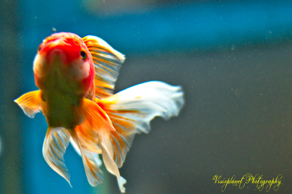 Goldie! by Sudipto Sarkar on Visioplanet Photography