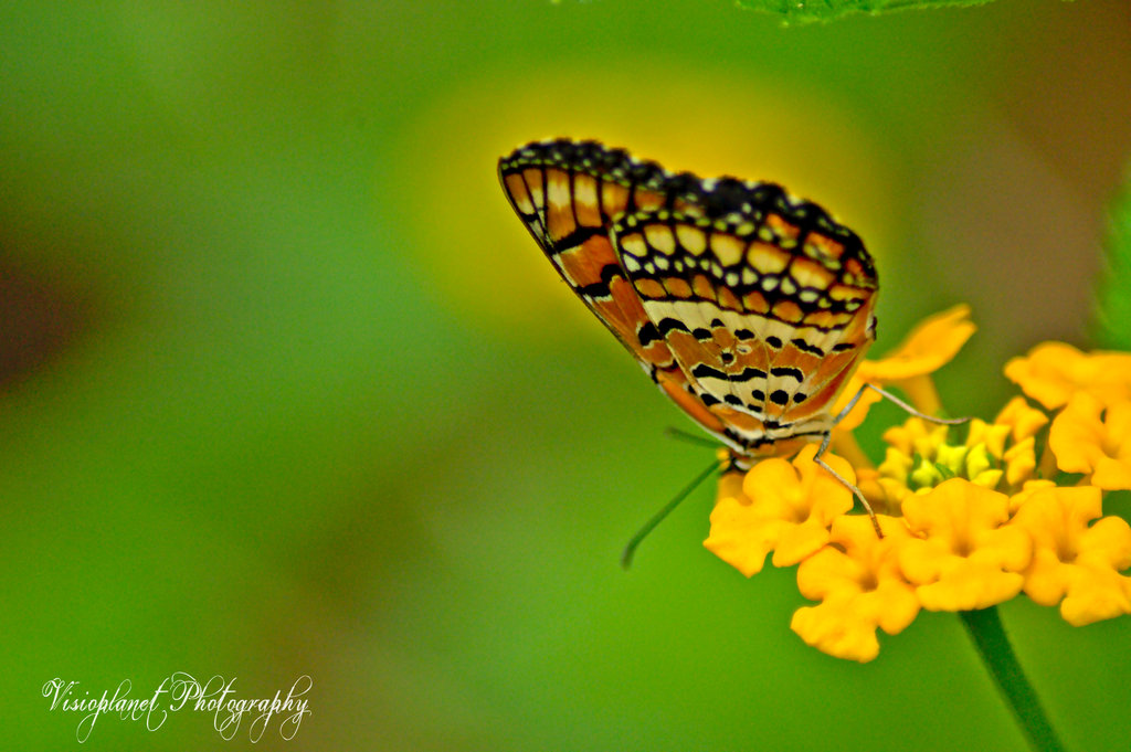 Like a Monarch by Sudipto Sarkar on Visioplanet Photography