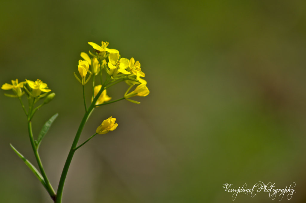 Mustard Flower by Sudipto Sarkar on Visioplanet Photography