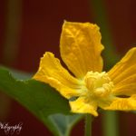 Pumpkin Flower by Sudipto Sarkar on Visioplanet Photography
