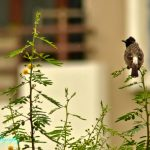 Red Vented Bulbul by Sudipto Sarkar on Visioplanet Photography