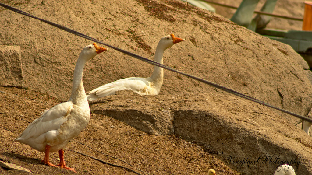 Say Geese! by Sudipto Sarkar on Visioplanet Photography