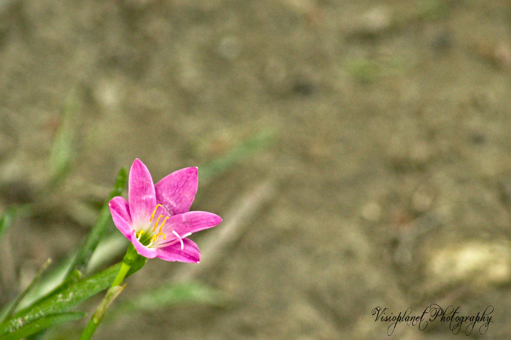 The Pink Fairy Lily by Sudipto Sarkar on Visioplanet Photography