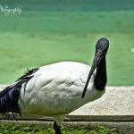 The African Sacred Ibis by Sudipto Sarkar on Visioplanet Photography