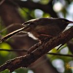 The Jungle Babbler by Sudipto Sarkar on Visioplanet Photography
