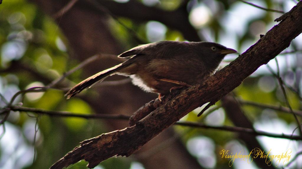The Jungle Babbler by Sudipto Sarkar on Visioplanet Photography
