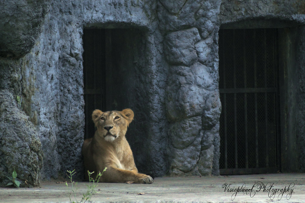 The Lioness by Sudipto Sarkar on Visioplanet Photography
