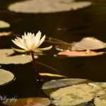 The Lotus by Sudipto Sarkar on Visioplanet Photography