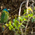 The Blue Throated Barblet by Sudipto Sarkar on Visioplanet Photography
