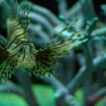 The Devil Firefish (Common Lionfish) by Sudipto Sarkar on Visioplanet Photography