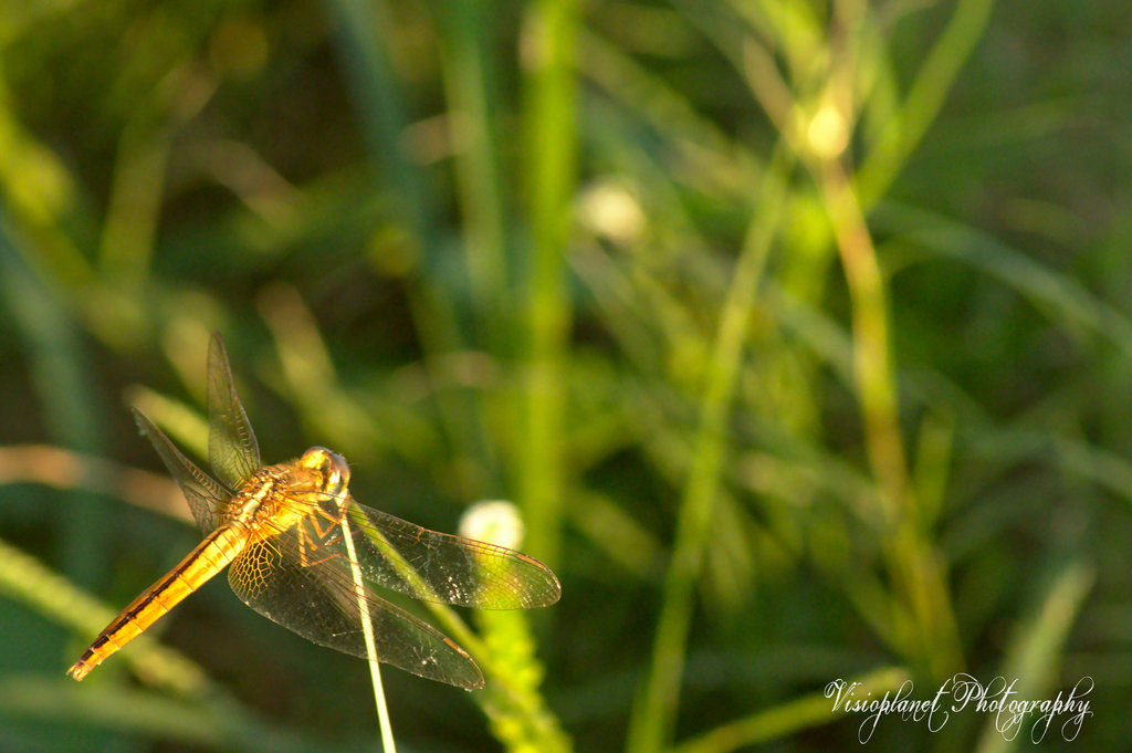 The Grasseater by Sudipto Sarkar on Visioplanet Photography