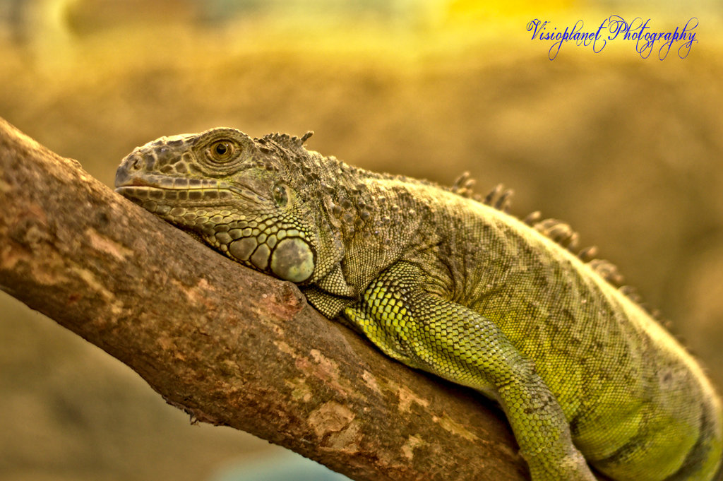 The lazy Iguana by Sudipto Sarkar on Visioplanet Photography
