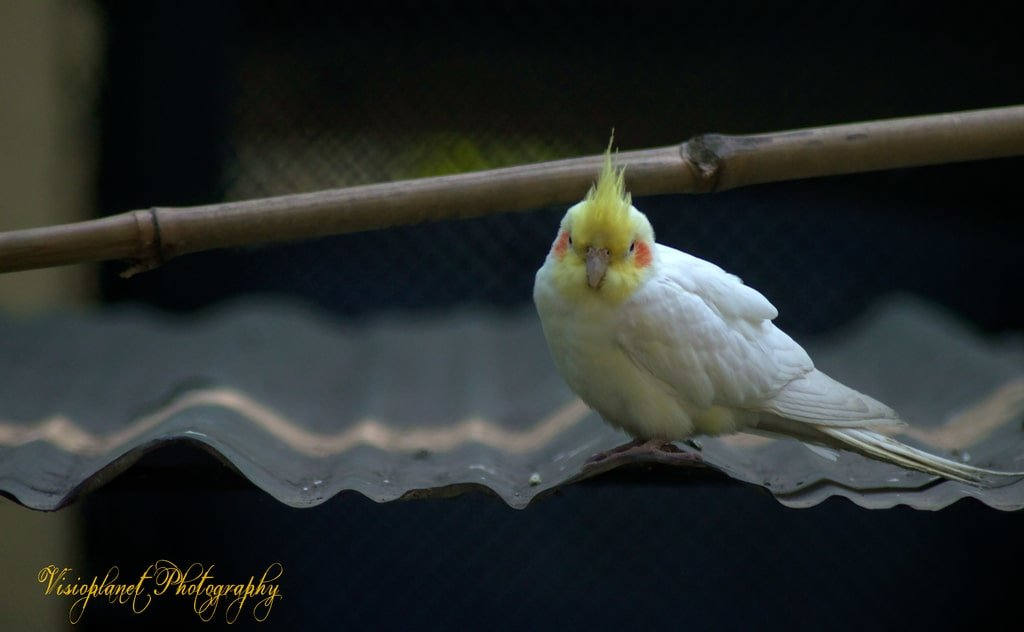 Tweety Pie by Sudipto Sarkar on Visioplanet Photography