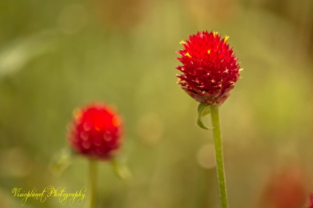 Twin Flowers by Sudipto Sarkar on Visioplanet Photography
