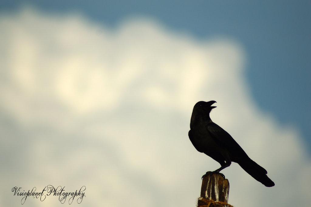 Caw said the crow